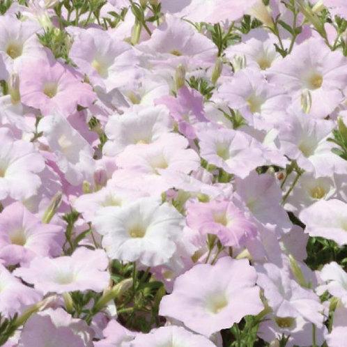 Petunia Wave Misty Lilac