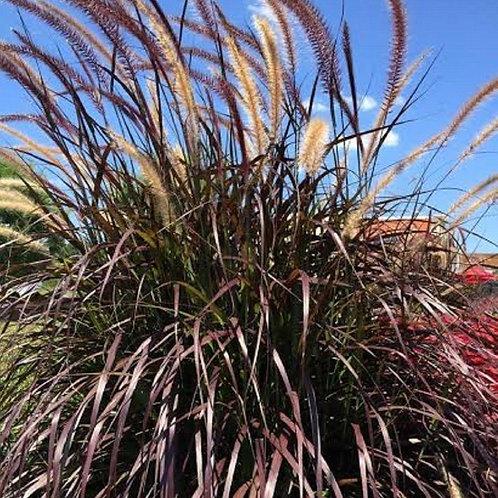 Grass Purple Fountain
