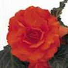 Begonia Non-Stop Mocca Deep Orange