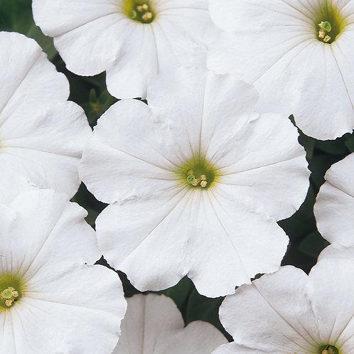 Petunia Madness White