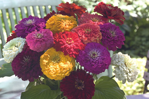 Zinnia Benary Giant Mix