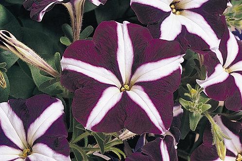 Petunia Carpet Blue Star