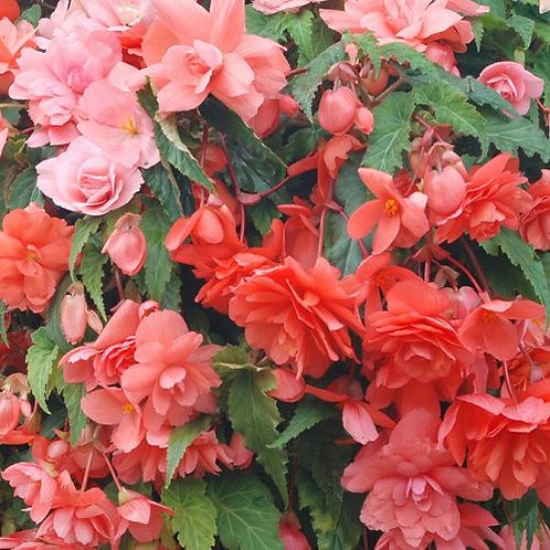 Begonia Illumination Salmon Pink
