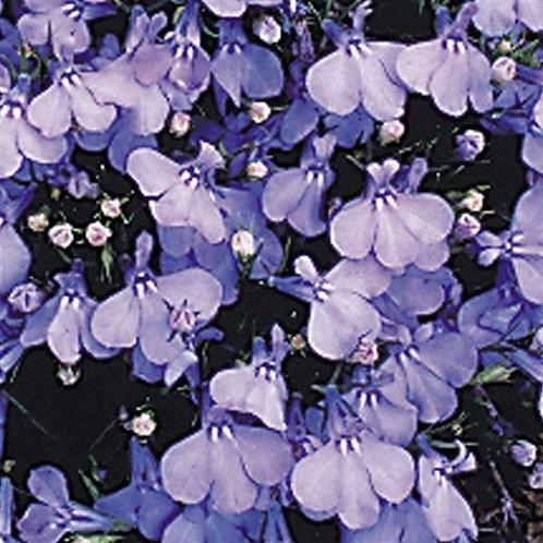 Lobelia Dwarf Cambridge Blue
