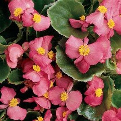 Begonia Prelude Rose