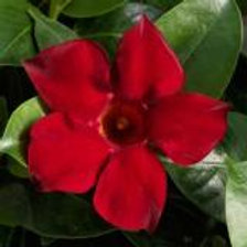 Dipladenia Madinia Deep Red