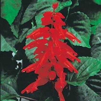Salvia Red Hot Sally