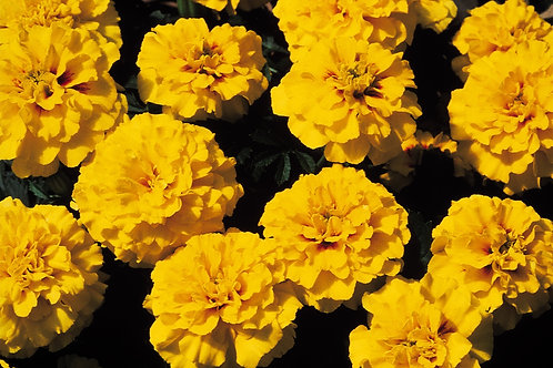 Marigold dwarf Janie Bright Yellow