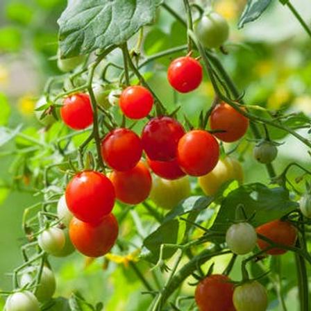 Tomato Red Grape