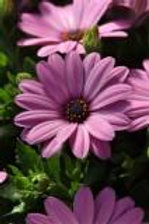 Osteospermum Serenity Pink