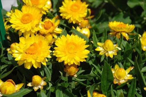 Bracteantha Yellow