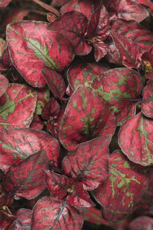 Hypoestes Hippo Red