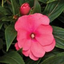 Impatiens New Guinea Sonic Pink