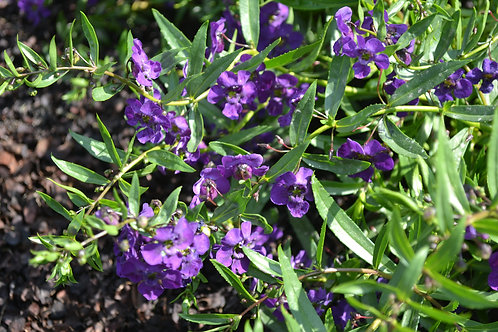 Angelonia Carita Purple