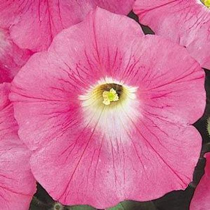 Petunia Wave Pink