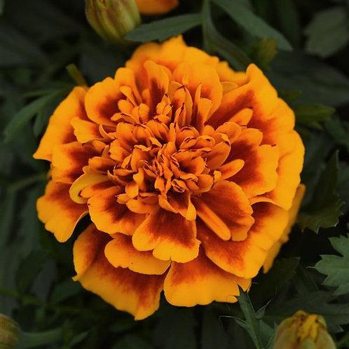 Marigold dwarf Bonanza Flame
