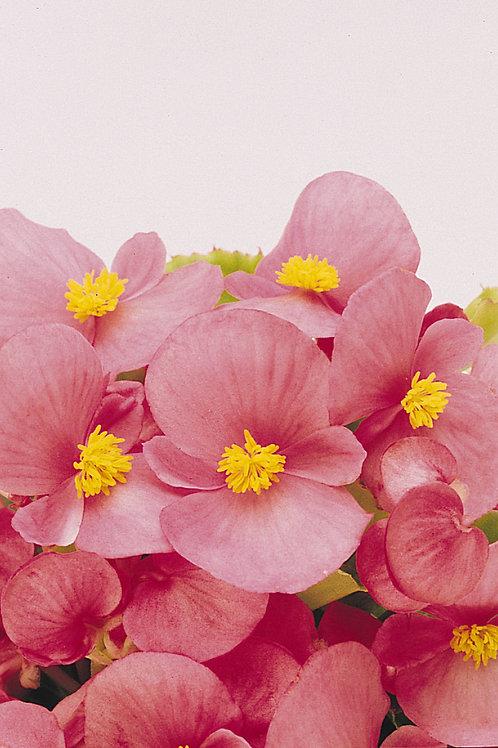 Begonia Prelude Pink