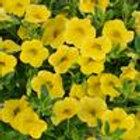 Calibrachoa Noa Yellow