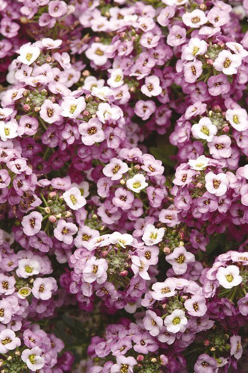 Alyssum Lavender