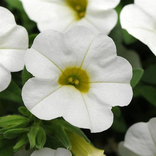 Calibrachoa Minifamous Neo White