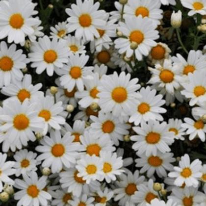 Argyranthemum White Butterfly