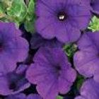 Petunia Royal Velvet