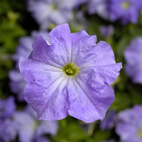 Petunia TriTunia Sky Blue
