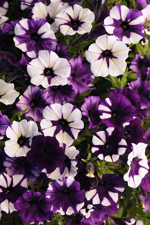 Petunia Shock Wave Purple Tie Dye