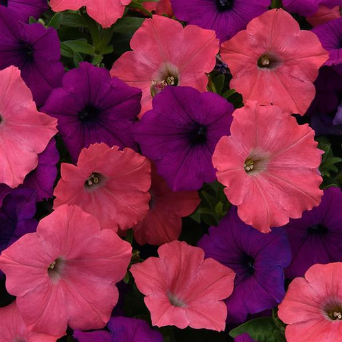 Petunia Easy Wave Opposites Attract