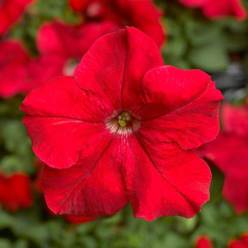 Petunia TriTunia Red