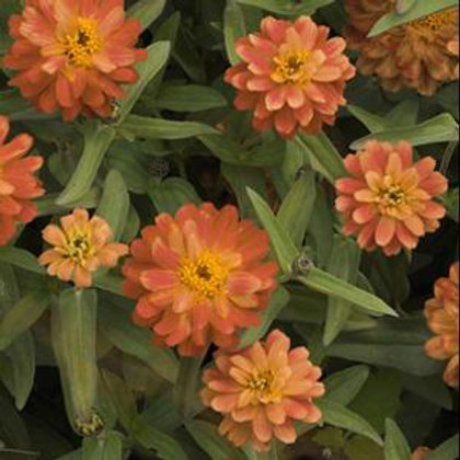 Zinnia Profusion Double Deep Salmon