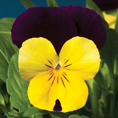 Viola Penny Yellow Jump-up