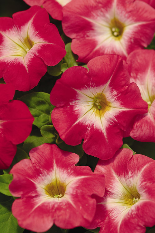 Petunia Madness Red Morn