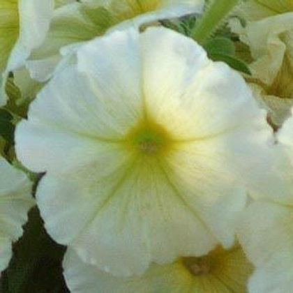 Petunia Madness Yellow