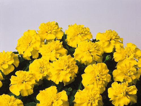 Marigold dwarf Bonanza Yellow