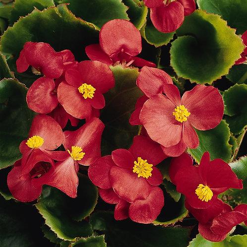 Begonia Prelude Scarlet