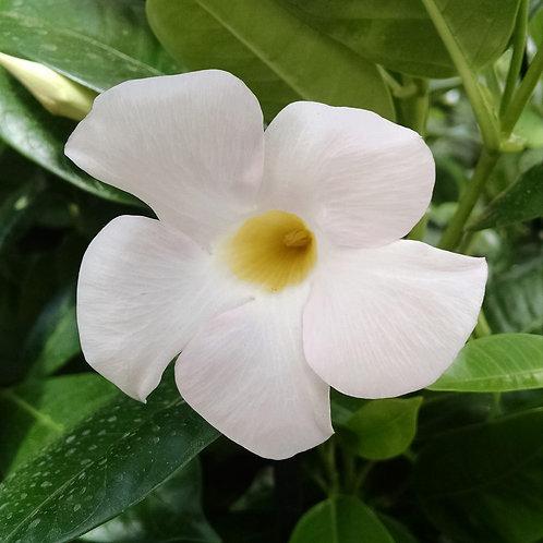Dipladenia Sundenia White