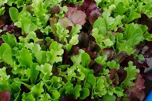 Lettuce Looseleaf Gourmet Blend