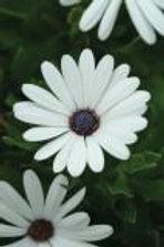 Osteospermum Serenity White