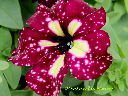 Petunia Headliner Starry Sky Burgundy