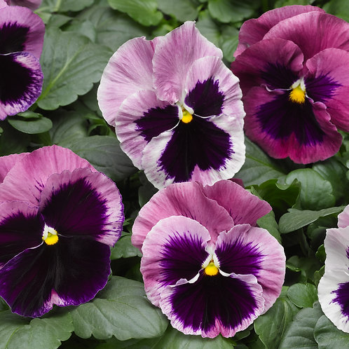 Pansy Mammoth Pink Berry