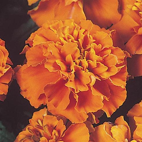 Marigold dwarf Janie Deep Orange