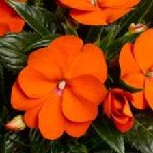 Impatiens New Guinea Sonic Orange