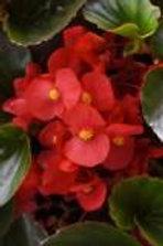Begonia Megawatt Red