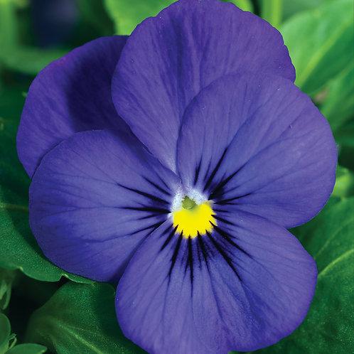 Viola Penny Deep Blue