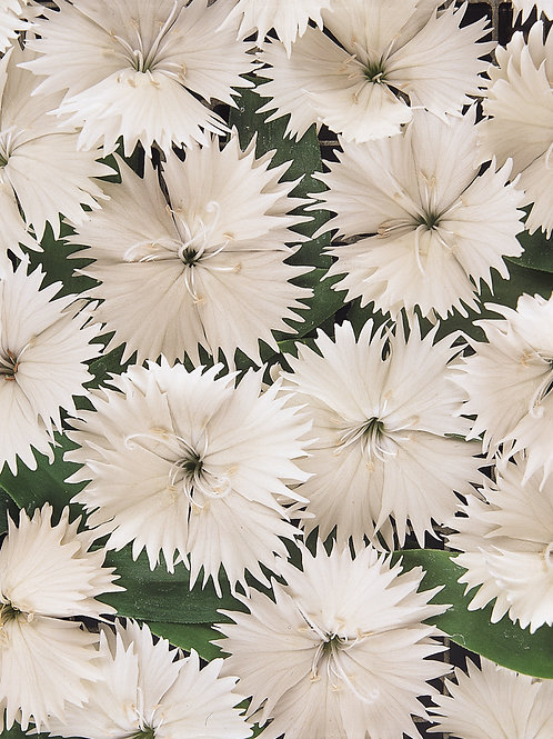 Dianthus Ideal Select White