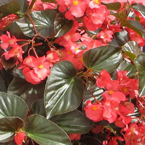Begonia Big Red with bronze leaf