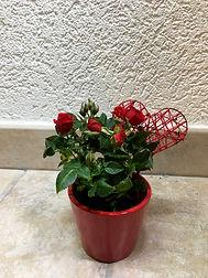 Petit rosier avec cache-pot
