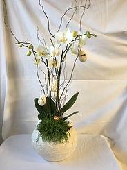 Phalenopsis blanche,plante verte ,saule torsadé