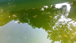 Mengatasi Air Kolam Ikan Berwarna Hijau dengan Sinar Lampu Ultraviolet